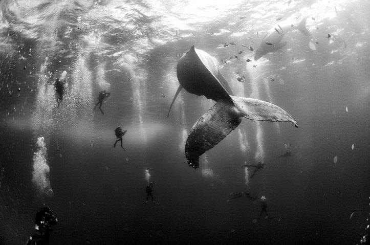 Segundo premio de la categoría Naturaleza, Anuar Patjane Floriuk. Los buzos rodean una ballena jorobada y su cría recién nacida en las Islas Revillagigedo, México