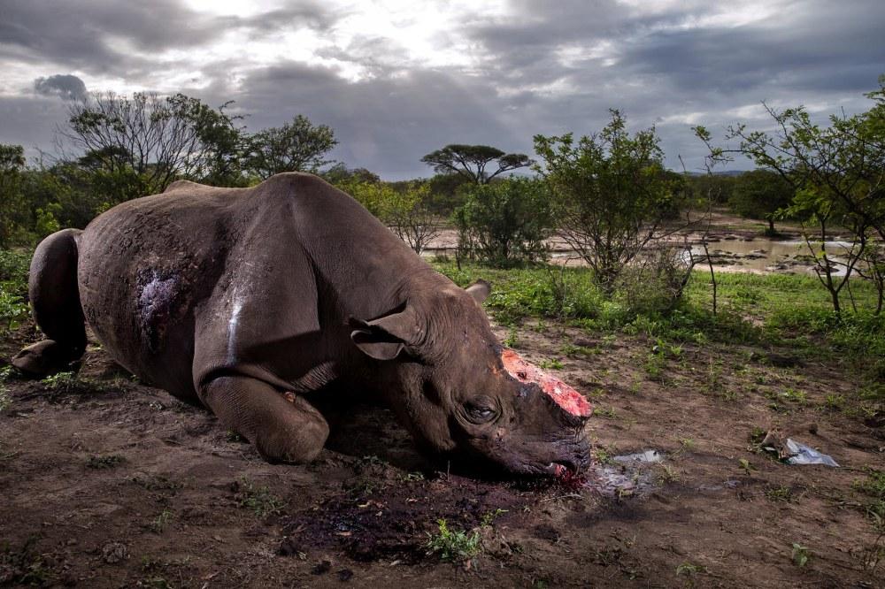 Naturaleza, primer premio. Un rinoceronte negro yace muerto en la reserva deHluhluwe Umfolozi Game, en Sudáfrica. Brent Stirton, Getty Images para National Geographic Magazine