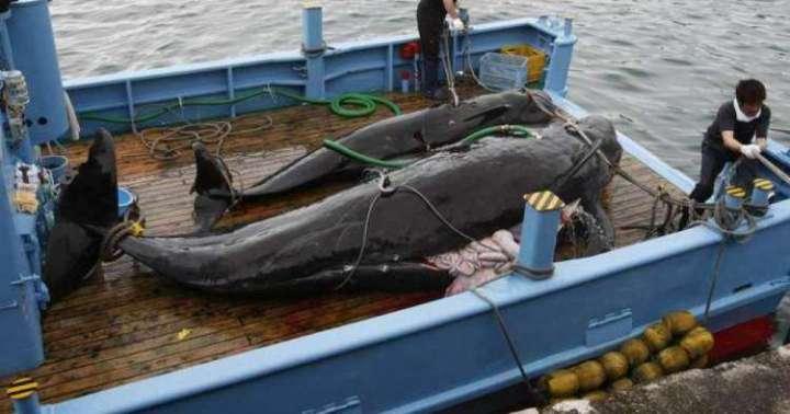 Japón justifica caza indiscriminada de ballenas con fines científicos