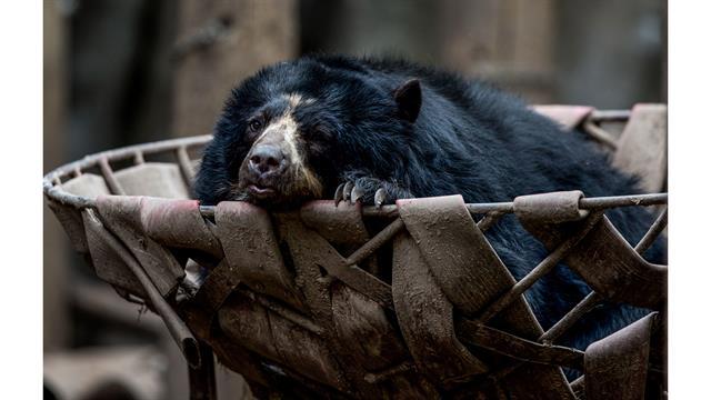 Un oso de anteojos reposa en una canasta
