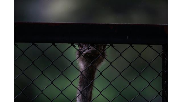 Una avestruz mira a través del alambre tejido