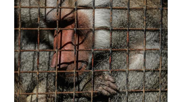 Un babuino dentro de su jaula