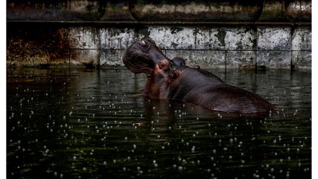 Guille, el hipopótamo, sumergido en un charco de agua en su recinto en el antiguo zoológico de la ciudad