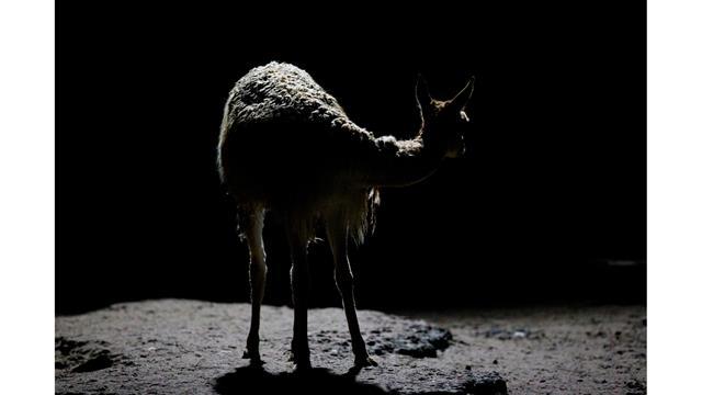 Una vicuña a la noche en el Eco Parque