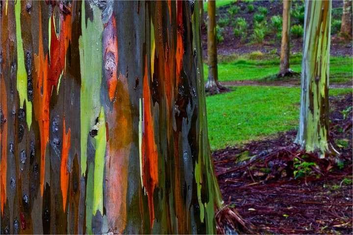 Los increíbles bosques de eucaliptos arco iris