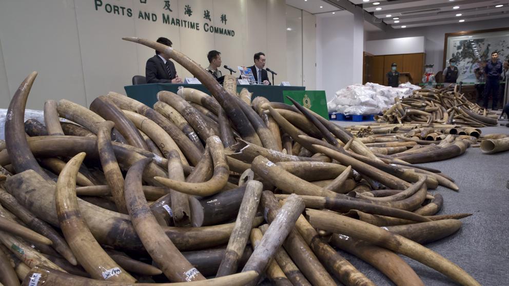 Hong Kong confisca el mayor alijo de colmillos de elefante en 30 años