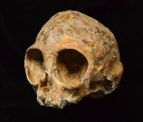 El cráneorevela el posible aspecto del ancestro común de los humanos y de todos los simios vivos