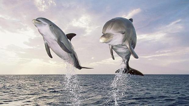 Ballenas y delfines forman sociedades casi humanas