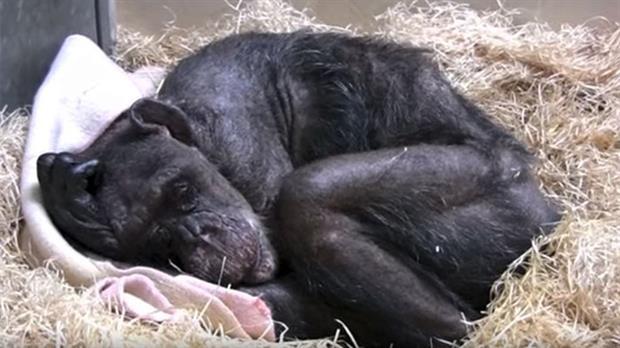 Un chimpancé moribundo se negaba a comer hasta que escuchó la voz de su antiguo cuidador