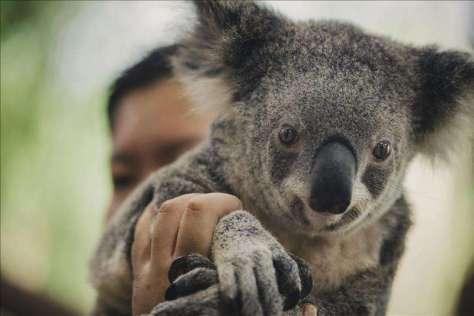Un koala perdido en laciudad
