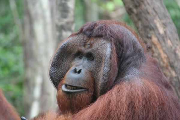 La población mundial de orangutanes cayó a la mitad en los últimos 16 años