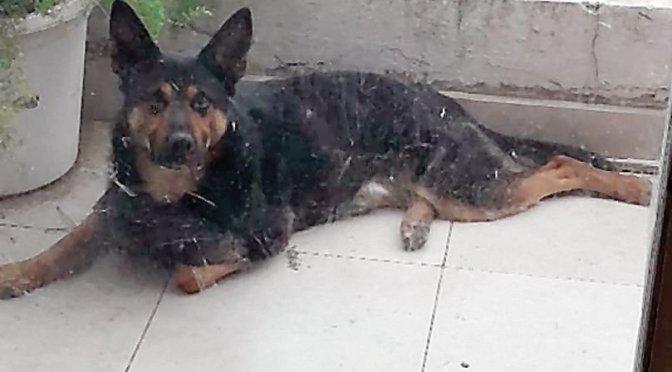 Salvador, el perro héroe que evitó una entradera en Almagro