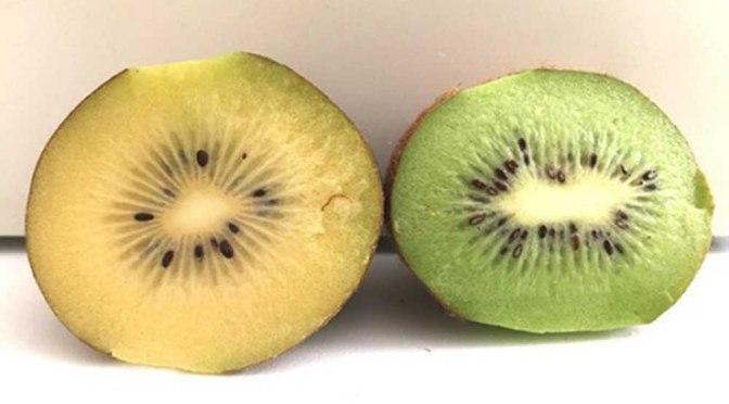 Histórico: la Argentina exporta kiwi amarillo orgánico a Europa