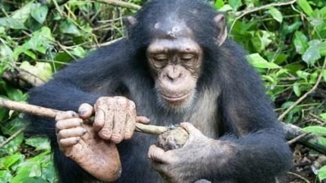 Por primera vez, un equipo de científicos grabó a chimpancés en el proceso de aprender a usar herramientas recibiendo lecciones de sus madres