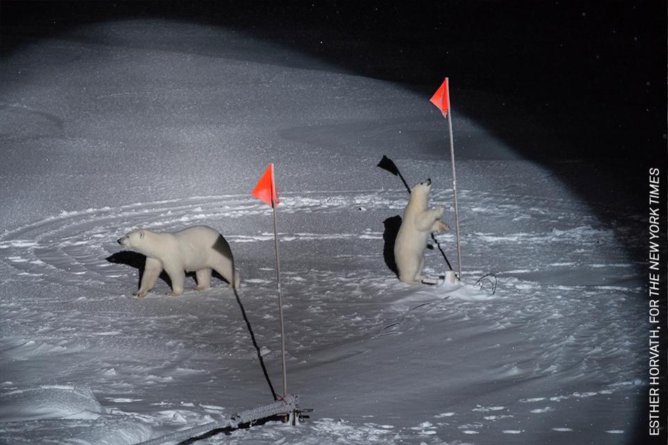 Oso polar y cachorros descubriendo equipo científico en el artic
