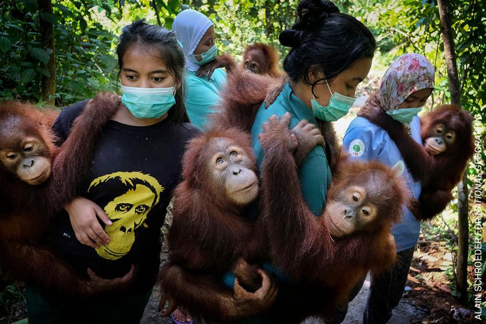 Orangutanes en peligro de extinción en Indonesia