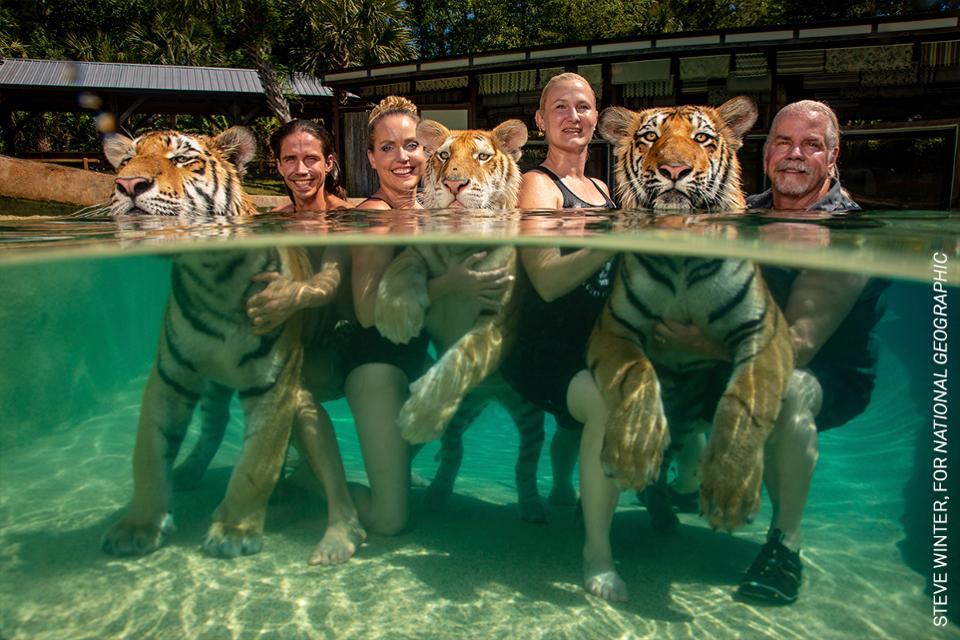 Tigres cautivos posando con invitados que pagan