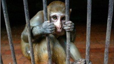 Resultado de imagen para mucalol macaco